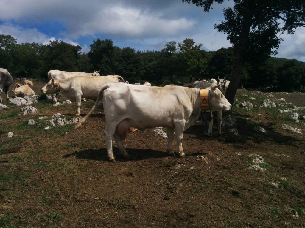 parma leuca puglia gargano vacche podoliche