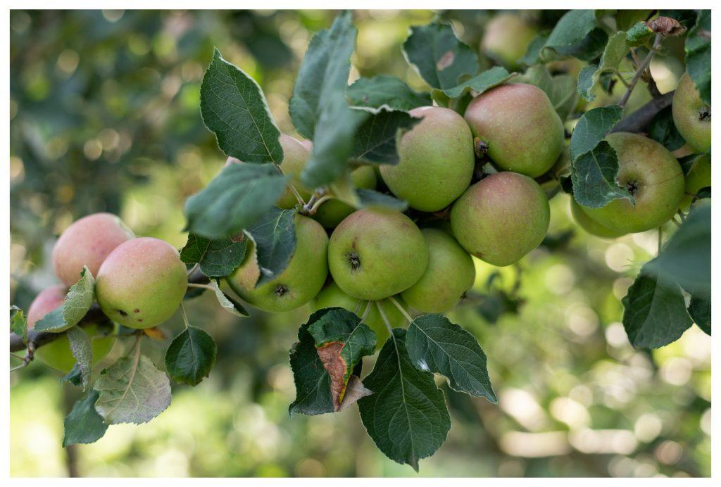 Ramo carico di mele