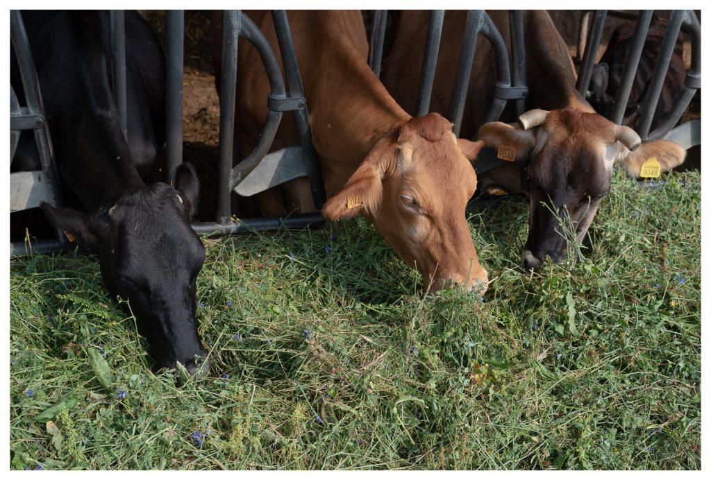 Mucche ed erba fresca